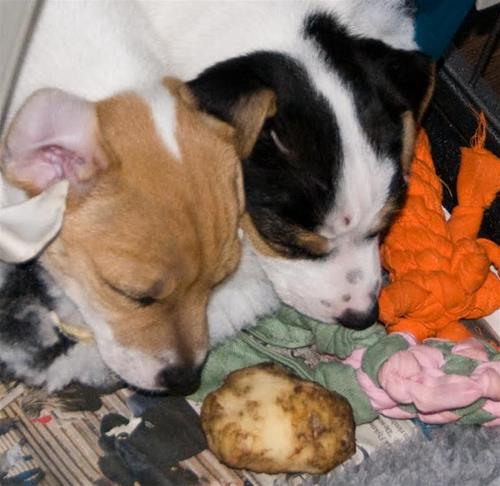 Potatis i sikte