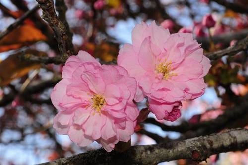 japansktkörsbär