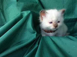 1 S*Ziblora's Tom Tom Turnaround b född 29/7-20 5v gammal pojke (LJUSBRUN)