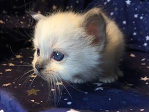 S*Ziblora's Moody Blue a född 17/3-2020 4v gammal