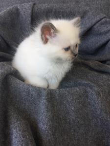 S*Ziblora's Maybellene a född 17/3-2020 7 v gammal
