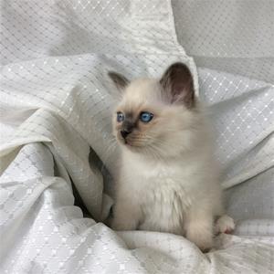 S*Ziblora's Moody Blue a född 17/3-2020 11v gammal