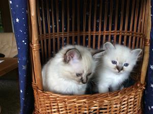 Bruntabby kattungar Ur V-W-X-kullarna 12-10-6 veckor gamla