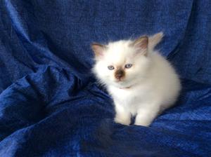 1 S*Ziblora's Tom Tom Turnaround b född 29/7-20 7v gammal pojke (LJUSBRUN)
