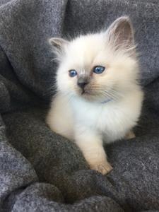 S*Ziblora's Moody Blue a född 17/3-2020 7 v gammal