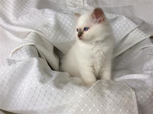 S*Ziblora's Marguerita c född 17/3-2020 11v gammal