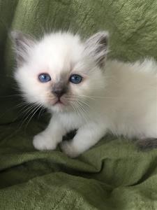 S*Ziblora's Maybellene a född 17/3-2020 6 v gammal