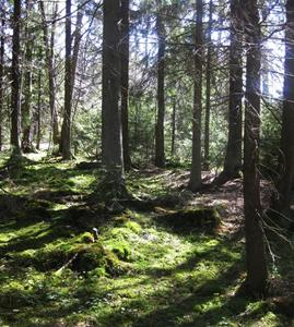 Vildvuxen skog