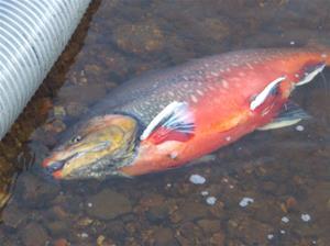 fiskutsättning 032
