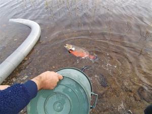 fiskutsättning 030