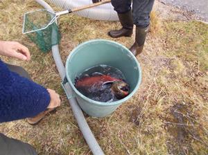 fiskutsättning 029