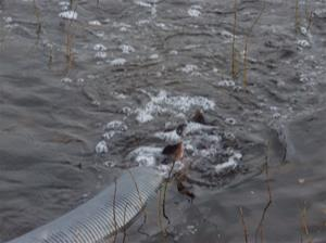 fiskutsättning 033