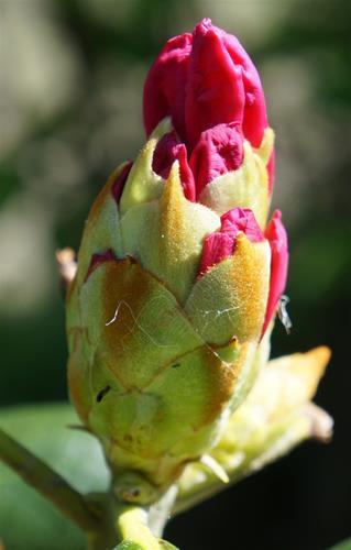 Rhododendron `Polaris´.