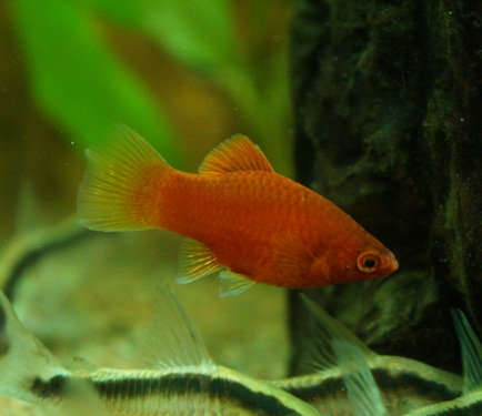 Korall Platy Röd