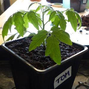 Tomatplanta