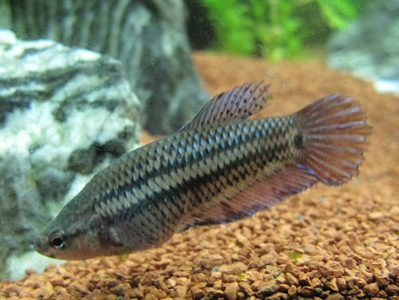 Betta splendens - Hona