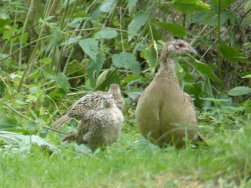 Fasanhöna med kycklingar.