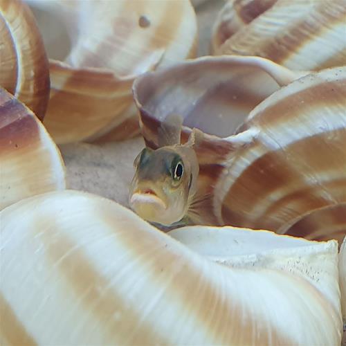 Lamprologus ocellatus gold.