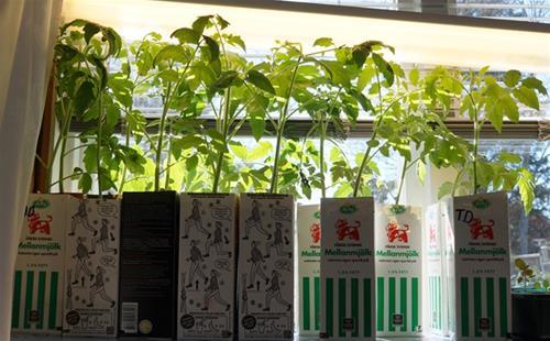 Tomatplantor.