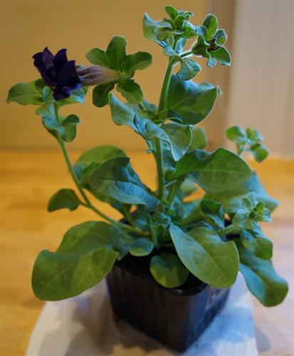 Petuniaplanta