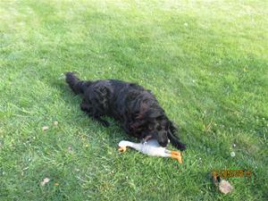 Loke med sin nya leksak, Gåsen. Den ger ett fruktansvärt ljud ifrån sig när han leker med den. IMG_1646