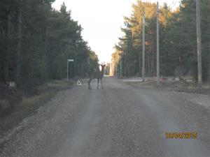 På vägen hem. Smart rådjur som ställt ut varningstriangel. Men tyvärr bara ifrån ett håll. IMG_1553