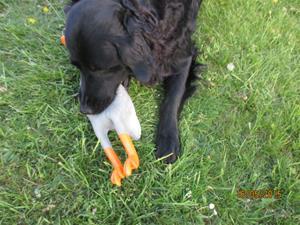 Loke med sin nya leksak, Gåsen. Den ger ett fruktansvärt ljud ifrån sig när han leker med den. IMG_1648