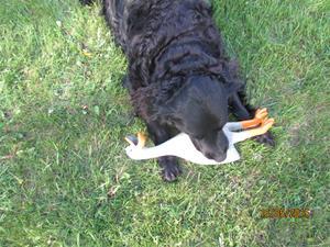 Loke med sin nya leksak, Gåsen. Den ger ett fruktansvärt ljud ifrån sig när han leker med den. IMG_1653