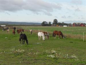 Hästarna i ny hage