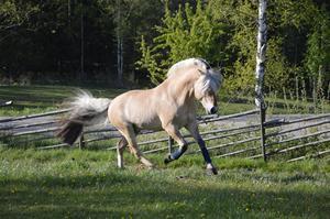 fjordhäst