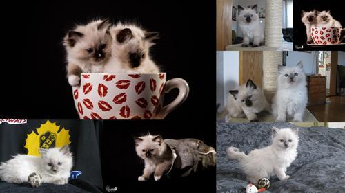 Kattungar collage