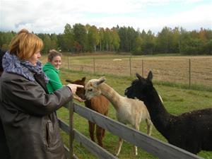 På besök hos Anna och hennes söta alpackor