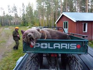 Svante Holms björn, skjuten medan vi gjorde eftersöket på den lilla