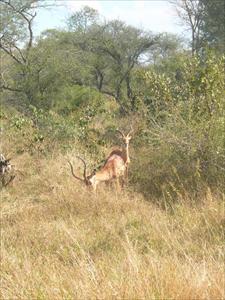 Impalor i Kruger