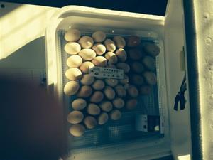 äggen lagda i kläckmaskin 2014