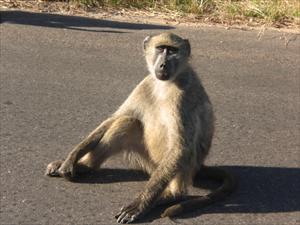 Babianer i Kruger