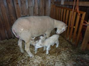 Cnövit med sina två lamm 2012 dag 2