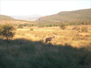 Kudu under jakten