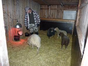 Husse och alla fåren i fårhuset januari 2011