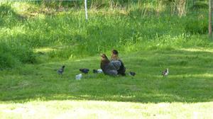 Kycklingarna 2013