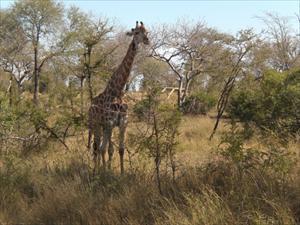 giraff i Kruger