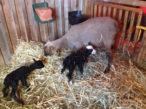 Canel med årets lamm