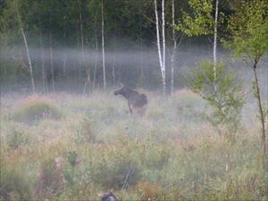 Älgko med kalv i Alviksskogarna 22 aug 09