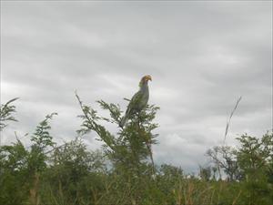 En yellowbilled hornbill