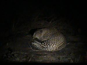 Leopard i Krugerparken