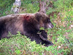 02.En björn är skjuten i Bursiljum