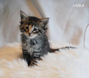 Viola 5v
