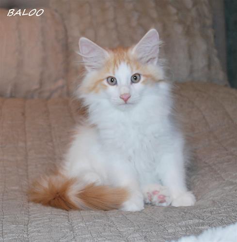 Baloo 12v
