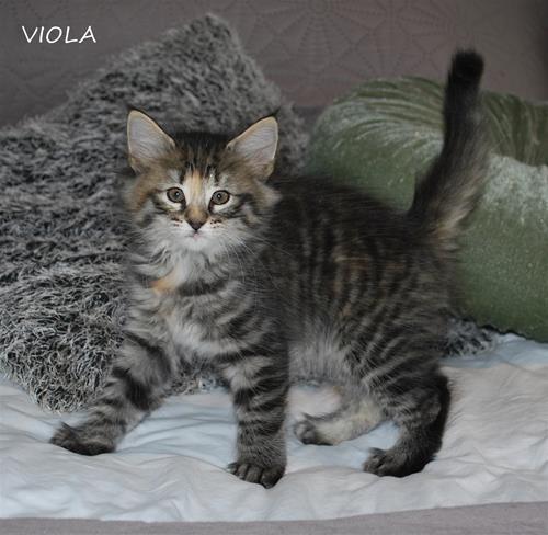 Viola 7v