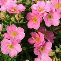 Nyhet 2020 Potentilla fruticosa   Pink Beauty. Tok. 50-60 cm. ett fåtal